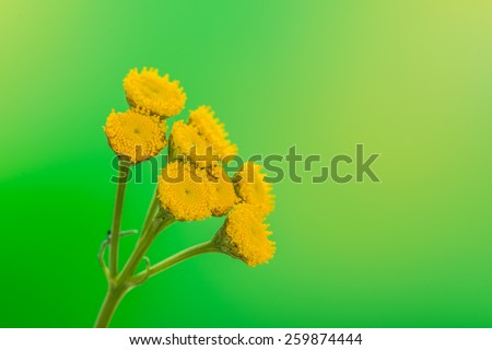 Tanacetum is a genus of about 160 species of flowering plants in the aster family, Asteraceae, native to many regions of the Northern Hemisphere. They are known commonly as tansies. - stock photo