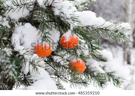 tangerine hanging on the pine branches, covered with snow
