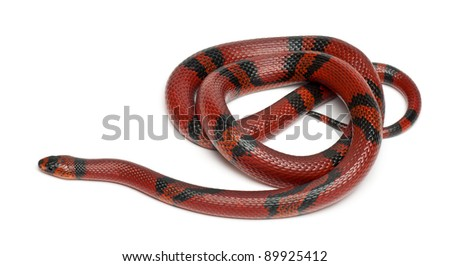 Tangerine Honduran milk snake, Lampropeltis triangulum hondurensis, in front of white background - stock photo