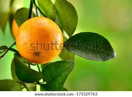 Tangerine on a natural background close up
