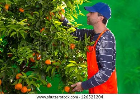 Tangerine orange farmer collecting man in mediterranean Spain - stock photo