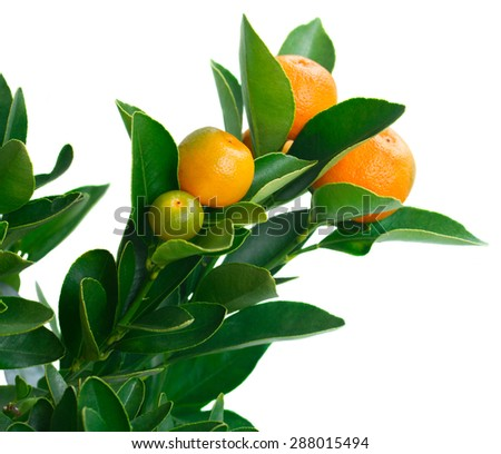 Tangerine tree branch close up  isolated on white background - stock photo
