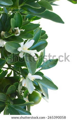 Tangerine tree branch with flowers  isolated on white background - stock photo