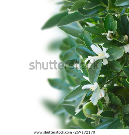 Tangerine tree branch with flowers on white background - stock photo