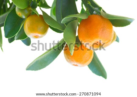 Tangerine tree branch with fruits against white background - stock photo