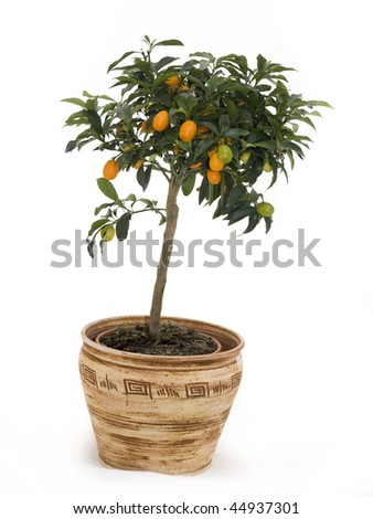 Tangerine tree in brown ceramic pot isolated over white