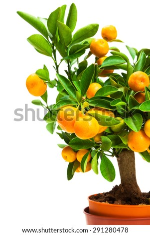 tangerine tree in pot on a white background - stock photo