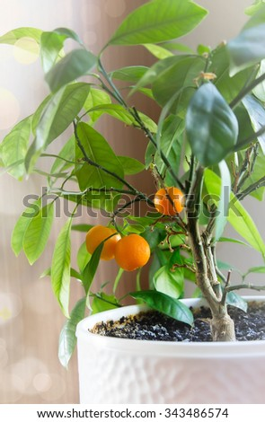 Tangerine tree in white pot home.Home citrus plant. - stock photo