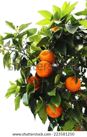 Tangerines - stock photo