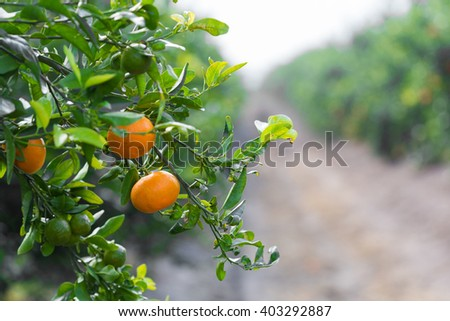 tangerines growing on a tree in the garden