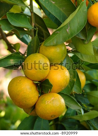Tangerines on tree