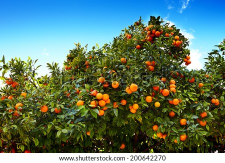 tangerines with leaves on tree against blue sky - stock photo