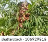tanned man in the bush cannabis, summer, sunny day - stock photo