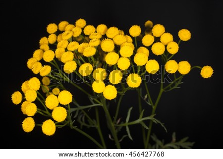 tansy on a black background