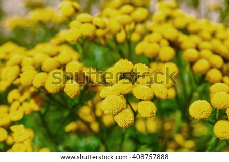 Tansy tanacetum vulgare - stock photo