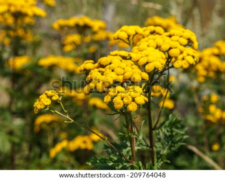 Tansy (Tanacetum vulgare) also known as Common Tansy, Bitter Buttons, Cow Bitter, Mugwort, or Golden Buttons  - stock photo