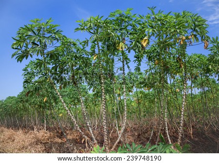 Tapioca, cassava farm - stock photo