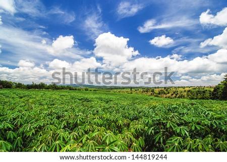 Tapioca field - stock photo