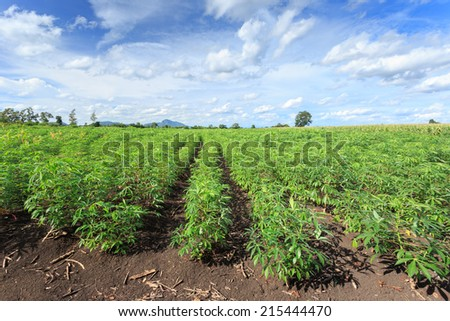 Tapioca field  - stock photo