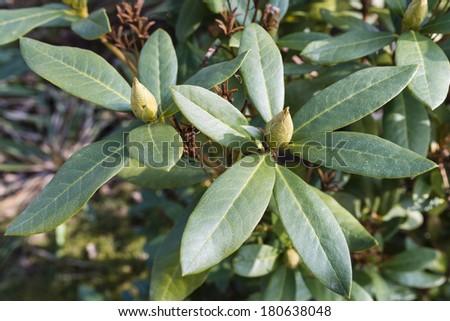 Tapioca Plants Cassava - stock photo
