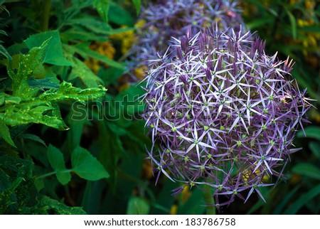 taplow blue, beautiful spherical wild flower - stock photo
