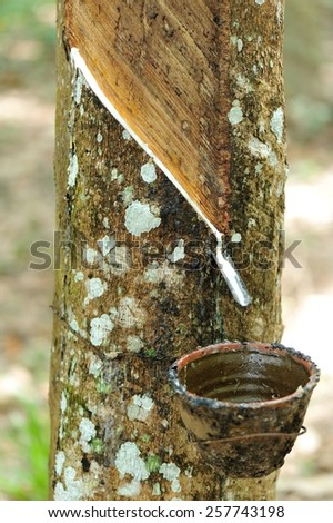 tapping a rubber tree