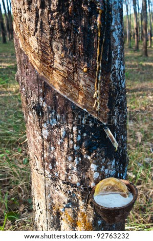 Tapping latex from a rubber tree are close up. Trad province, Thailand