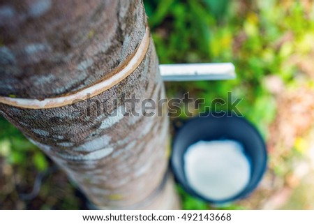 Tapping on rubber tree