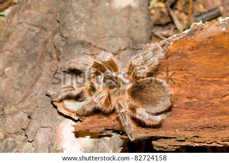 Tarantula crawling over a log in its natural habitat