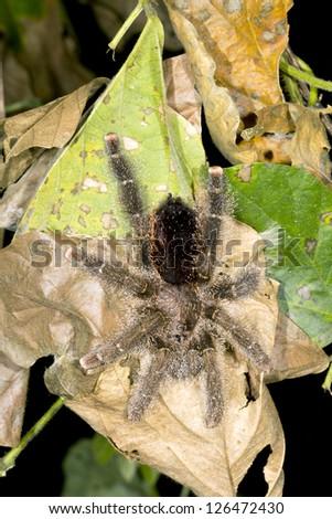 Tarantula in the rainforest at night, Ecuador - stock photo
