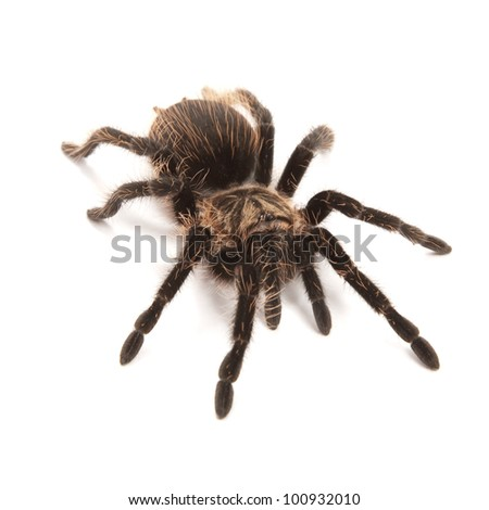 Tarantula isolated on a white background - stock photo
