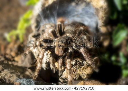 Tarantula (Nhandu coloratovillosus) adult female at the entrance to burrow - stock photo