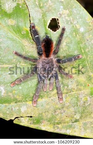 Tarantula on a leaf in the rainforest understory, Ecuador - stock photo