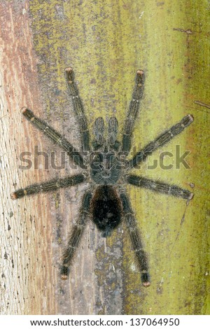 Tarantula on a tree trunk in the rainforest, Ecuador - stock photo