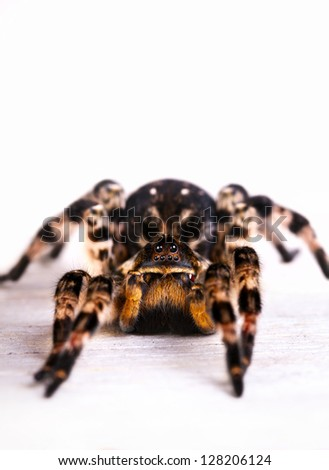 Tarantula spider on wooden surface