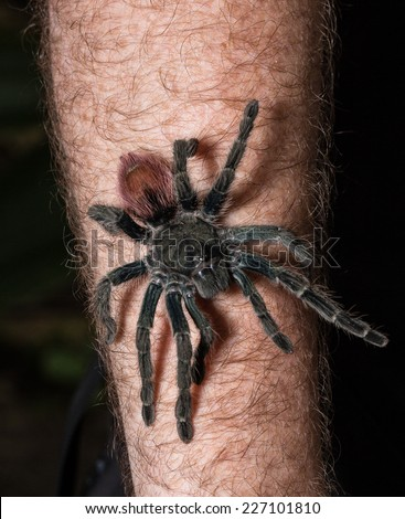 Tarantula walk over arm in the Amazon Jungle, Iquitos, peru - stock photo
