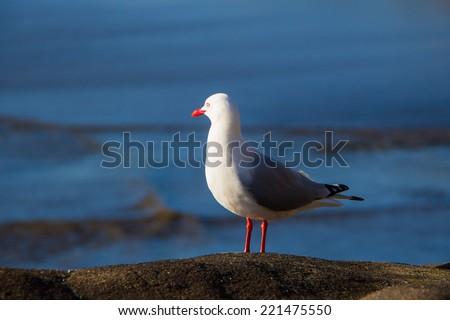 Tarapunga, Red Billed Gull Bird at Wuriwai Beach, New Zealand - stock photo