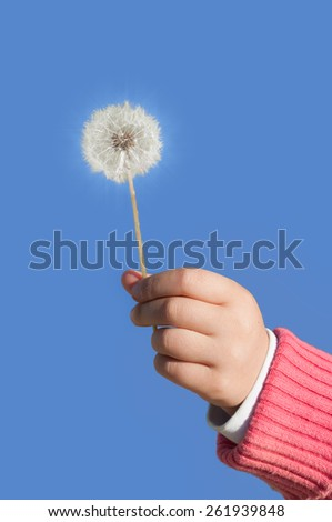 Taraxacum officinale, the common dandelion is a flowering herbaceous perennial plant of the family Asteraceae.It is also called blowballs and clocks - stock photo