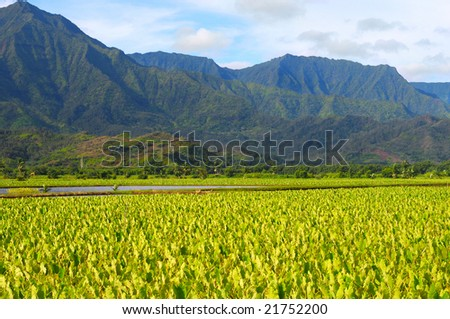 Taro fields beneath the lush, forested mountains of Kauai, Hawaii