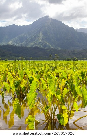 Taro plants with big broad, green leaves in standing water fields in late afternoon sunshine on the island Kauai. Hills and mountains in the background under a blue sky with a few clouds. Horizontal.