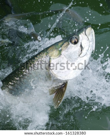 Tarpon fish with a big eye leaping from the water - stock photo