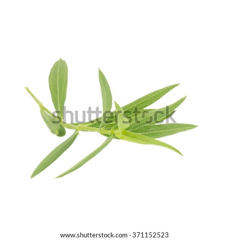 Tarragon herbs close up isolated on white.