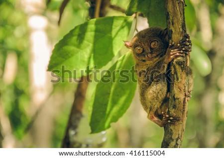 Tarsier monkey in Cebu, Philippines- Tarsius Syrichta - stock photo