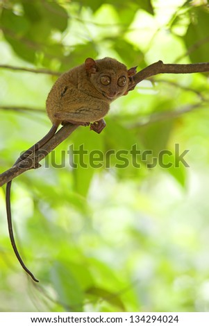 Tarsier sitting in a tree in Bohol, Philippines - stock photo
