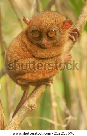 Tarsier sitting on a tree, Bohol island, Philippines, Southeast Asia - stock photo