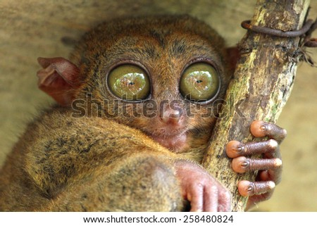 Tarsier sitting under the roof, Bohol island, Philippines - stock photo