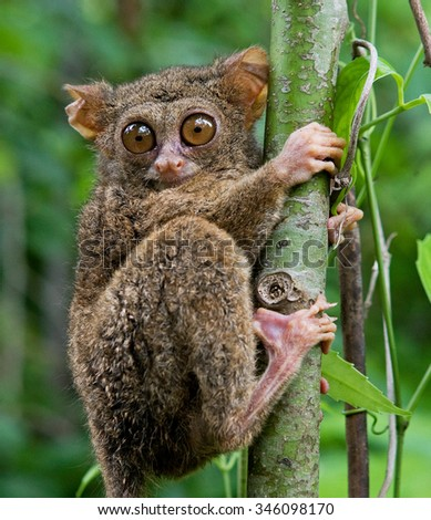 Tarsius sits on a tree in the jungle. close-up. Indonesia. Sulawesi Island. An excellent illustration.
