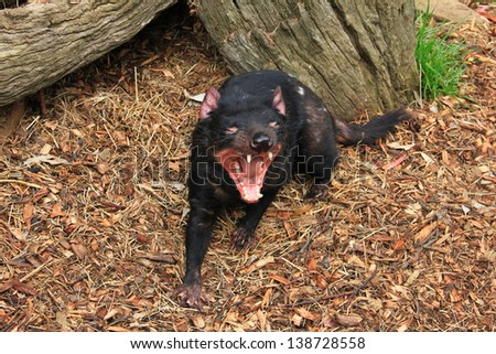 Tasmanian devil close up full frame, australia - growling - stock photo