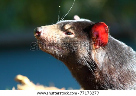 Tasmanian Devil in Australia - stock photo
