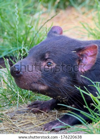 tasmanian devil in australia looking very docile - stock photo
